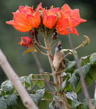 40718_120_Arusha-African-Tulip-Speckled-Mousebird.jpg
