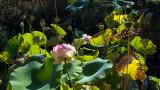 le dernier lotus