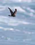 Elliot's Storm Petrel - Oceanites gracilis ssp. galapagoensis