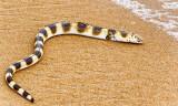 Snake Eel (Brachysomophis atlanticus)