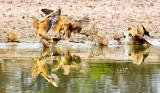 Sand-Grouse (Burchell's)