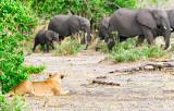 Lioness Stalking Elephants