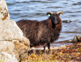 Black Sheep by the Sea