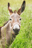 Smiling Donkey ... happy as a donkey in clover?