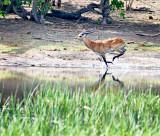 Red Lechwe (Kobus leche)