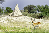 Red Lechwe (Kobus leche) + Termite Mound
