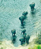 Okavango Elephants