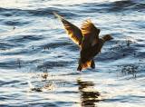 Eider Duck Escape