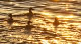 Eider Ducks –  Midnight Sunset