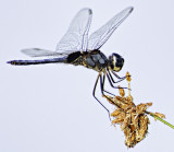 Dragonfly on Papyrus