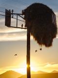 Sociable Weavers at Sunset