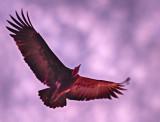 Gliding Vulture