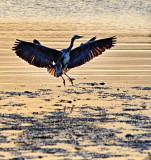 Grey Heron Landing