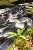 Male fern (Dryopteris filix-mas)