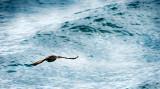 Wave Skimming Cormorant