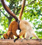 Lemur Ballet
