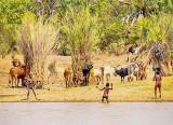 Zebu Herders - Having fun