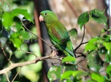 Orange-chinned Parakeet at Balboa Inn