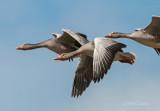 Graylag Goose - Grauwe gans - ameland PSLR -5844.jpg