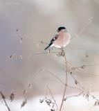 Bullfinch - Goudvink Bargerveen PSLR-1000.jpg