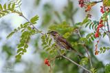 Turdus iliacus - Redwing - Koperwiek