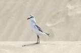 Charadrius marginatus - White-fronted plover - Vale Strandplevier PSLR-1897.jpg