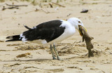 Larus Dominicanus - Kelp Gull - Kelpmeeuw PSLR-1899.jpg