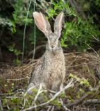 Scrub Hare PSLR-2025.jpg