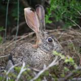 Scrub Hare PSLR-2024.jpg