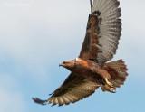 Steppe buzzard PSLR-2274.jpg