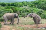 African Elephant bulls playing