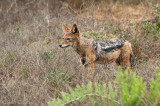 Black-backed Jackal - Canis mesomelas PSLR-2145.jpg