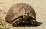 Leopard Tortoise PSLR-2276.jpg
