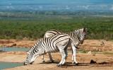 Zebra PSLR-2218.jpg