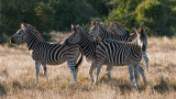 Zebra PSLR-2420.jpg