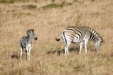 Zebra PSLR-2439.jpg