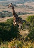 Giraffe  PSLR-2467.jpg