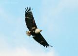 African Fish eagle  PSLR-2575.jpg