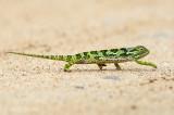 Flap-necked chameleon - Lappenkameleon - Chamaeleo dilepis  PSLR-0936.jpg
