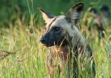 African Wild Dog -  hyenahond - Lycaon pictus PSLR-1819.jpg