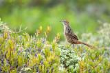 Cape Grassbird - Sphenoeacus afer PSLR-0190.jpg