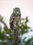 Verreaux's Eagle-Owl - Bubo lacteus PSLR-2162.jpg