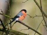 Bullfinch male - Goudvink man -  KPSLR-2310.jpg
