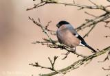 Goudvink - Bullfinch PSLR-2308.jpg