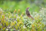 Cape Grassbird - Sphenoeacus afer PSLR-0189.jpg