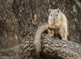 Tree Squirrel - paraxerus capapi  PSLR-1184.jpg