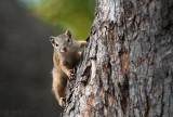 Tree Squirrel - paraxerus capapi PSLR-1791.jpg