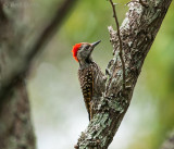 Cardinal Woodpecker - dendropicos fuscescens PSLR-0964.jpg
