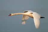 Cygnus olor - Mute Swan - Knobbelzwaan