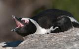 African Penguin - Spheniscus demersus PSLR-0400.jpg